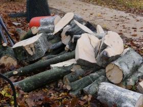 All that's left of the hornbeam tree.
