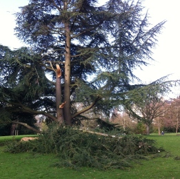 Storm damaged tree in Royal Victoria Park