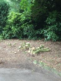 Evidence of recent poplar pruning