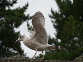 A fledgling on his way to full flight.