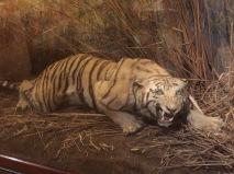 Tiger, tiger.