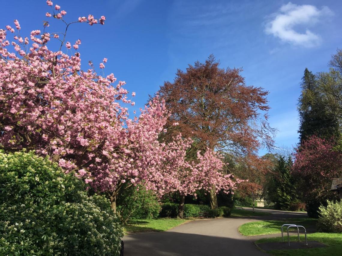 SG Cherry Blossom