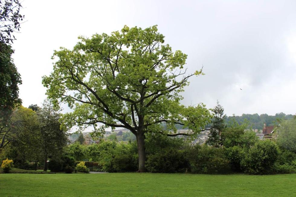 peace oak